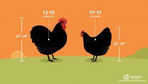 Largest Chicken Breed