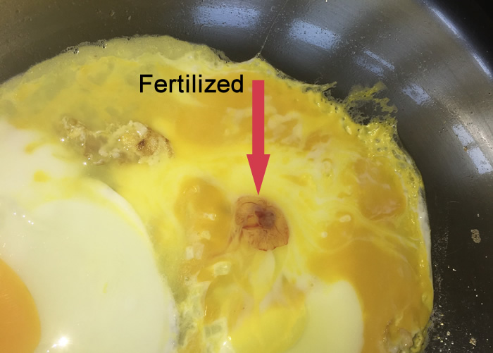 fertilized egg