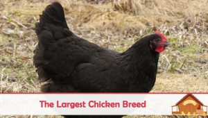 The Largest Chicken Breed