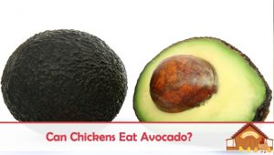 Can Chickens Eat Avocados – The Answer Is Maybe