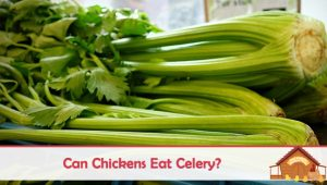 Can Chickens Eat Celery?
