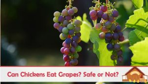 Can Chickens Eat Grapes – Are They Safe?