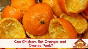 Can Chickens Eat Oranges?