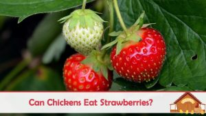 Can Chickens Eat Strawberries?