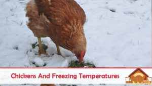 Chickens And Cold or Freezing Temperatures