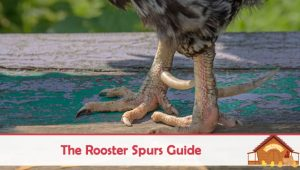 All You Need To Know About Rooster Spurs