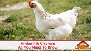 Amberlink Chicken Breed – Laying, Temperament, Characteristics