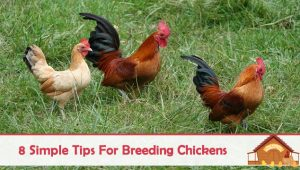 8 Simple Tips for Breeding Chickens