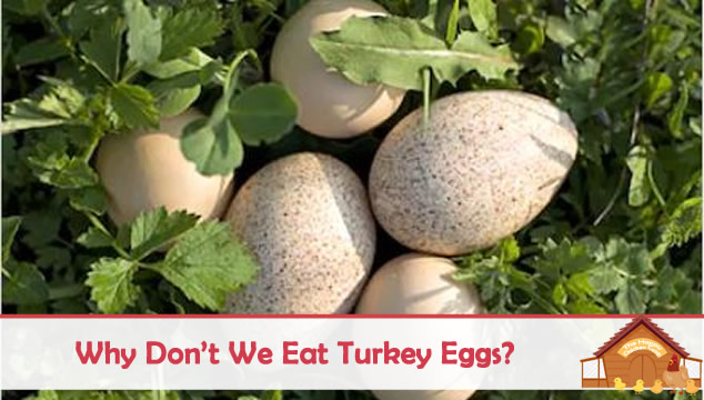 why dont we eat turkey eggs