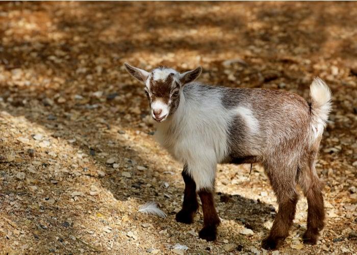 american pygmy goat