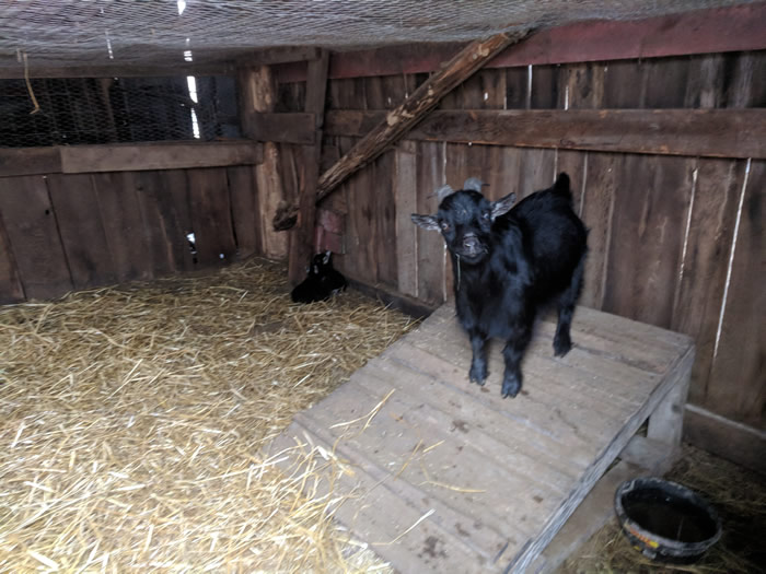 goat kid shed