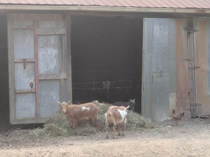 goat shed