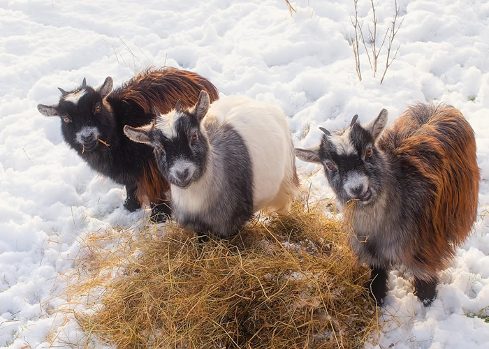 goats eating hay