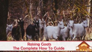 Raising Goats – The Complete How To Guide