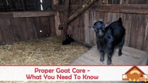 How To Properly Care For Your Goat