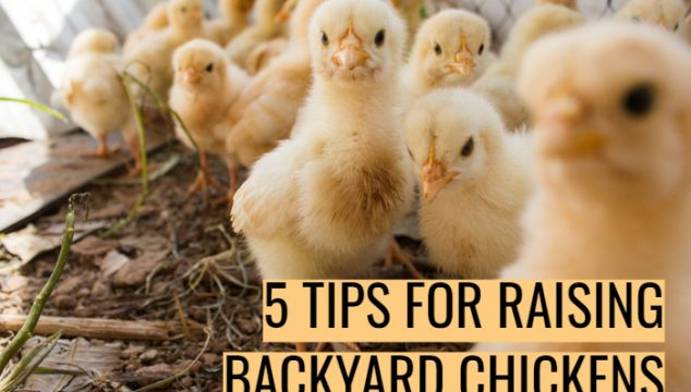 5 Tips For Raising Backyard Chickens