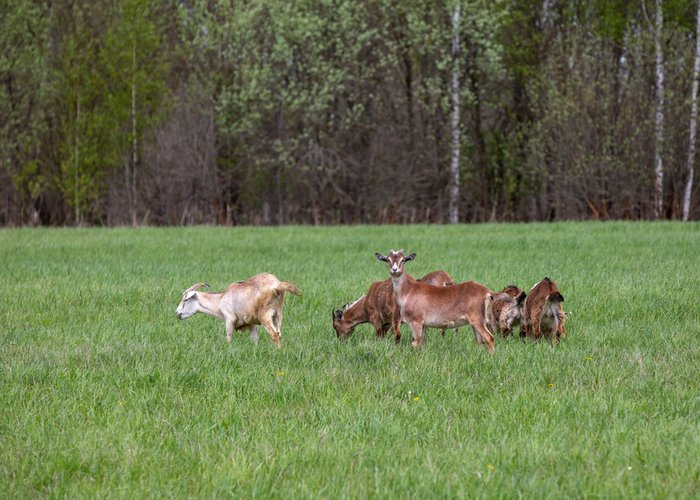 free ranging goats