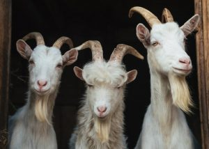 goats with horns