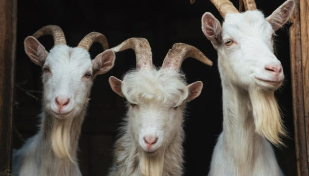 Top 10 Tips For Raising Goats