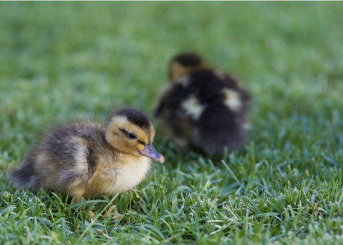 silver appleyard ducklings