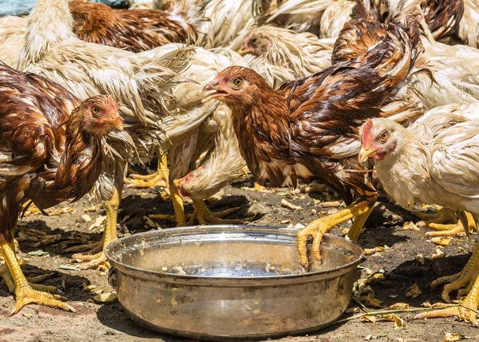 wet chickens