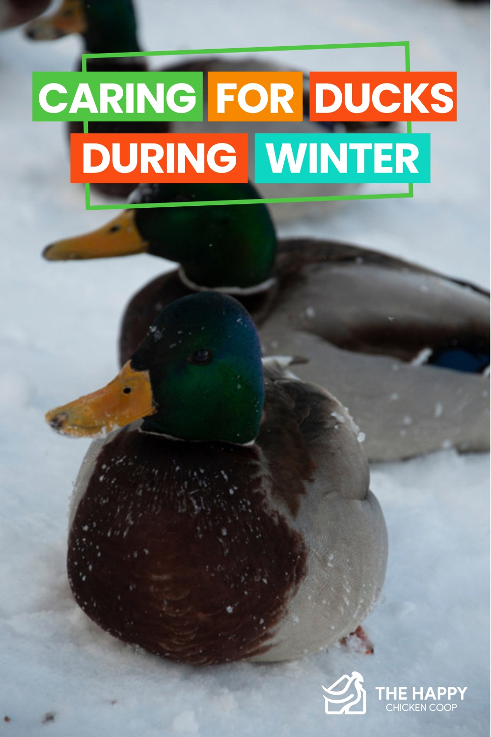 Caring For Ducks During Winter
