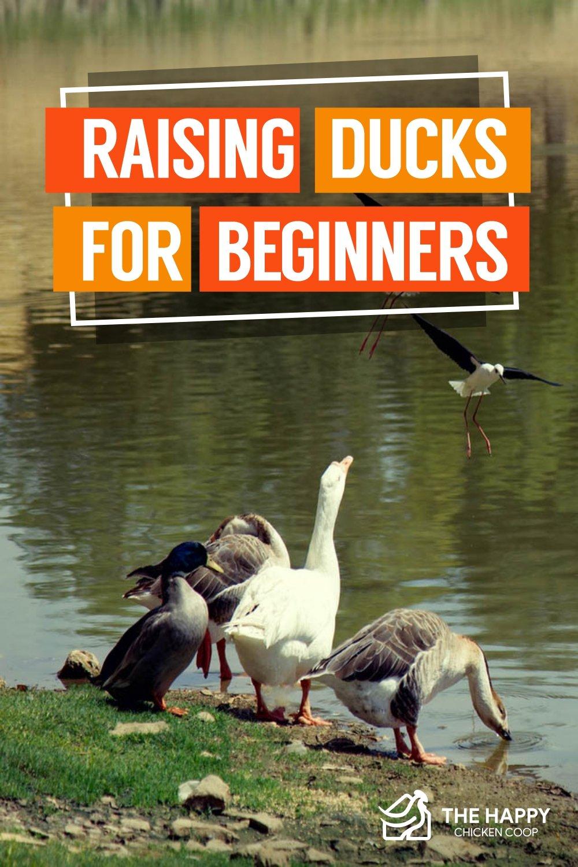 Raising Ducks For Beginners