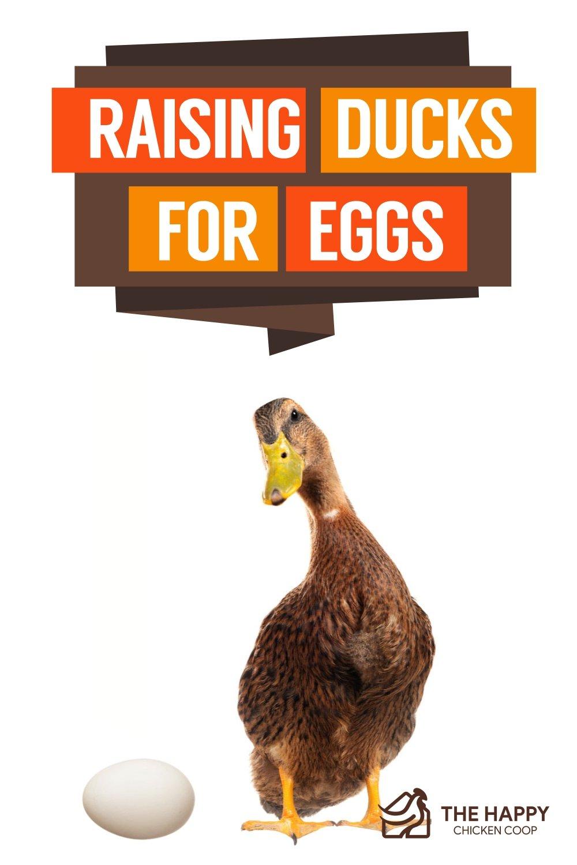 Raising Ducks For Eggs