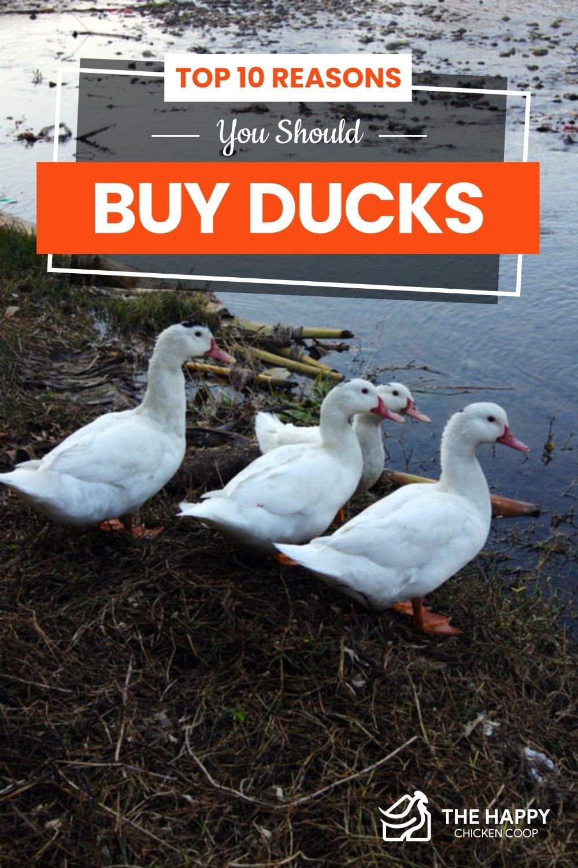 Top 10 Reasons You Should Buy Ducks