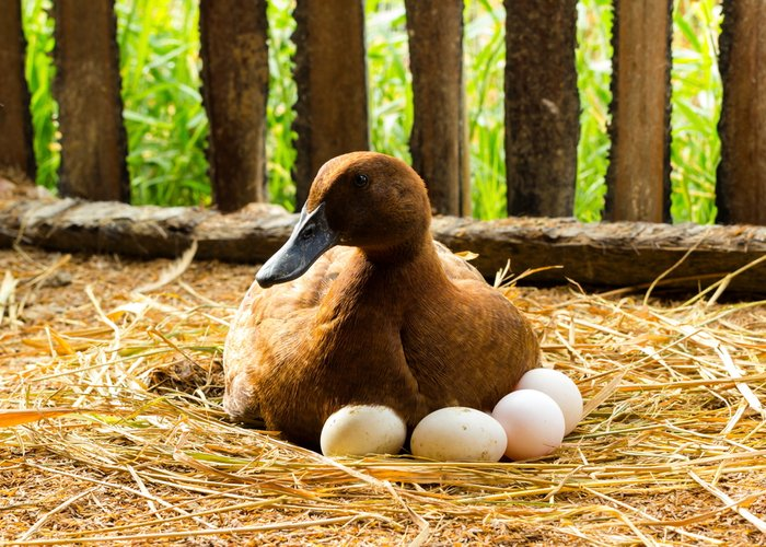 duck laying eggs