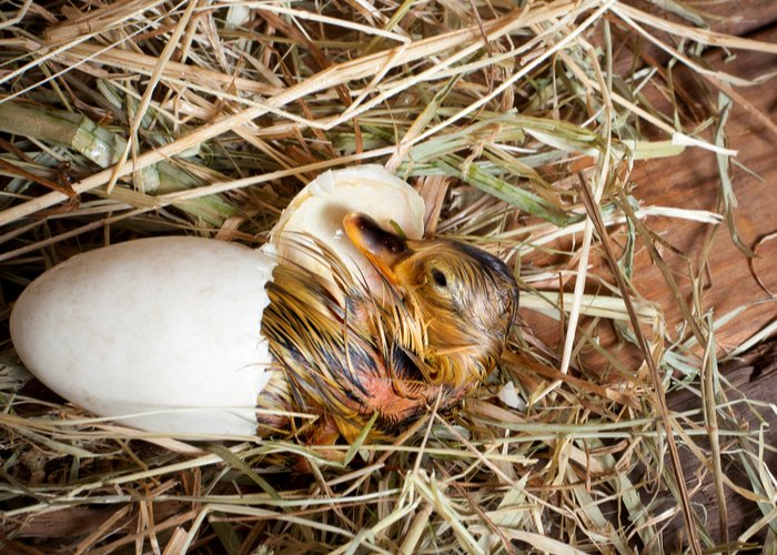 duckling hatching