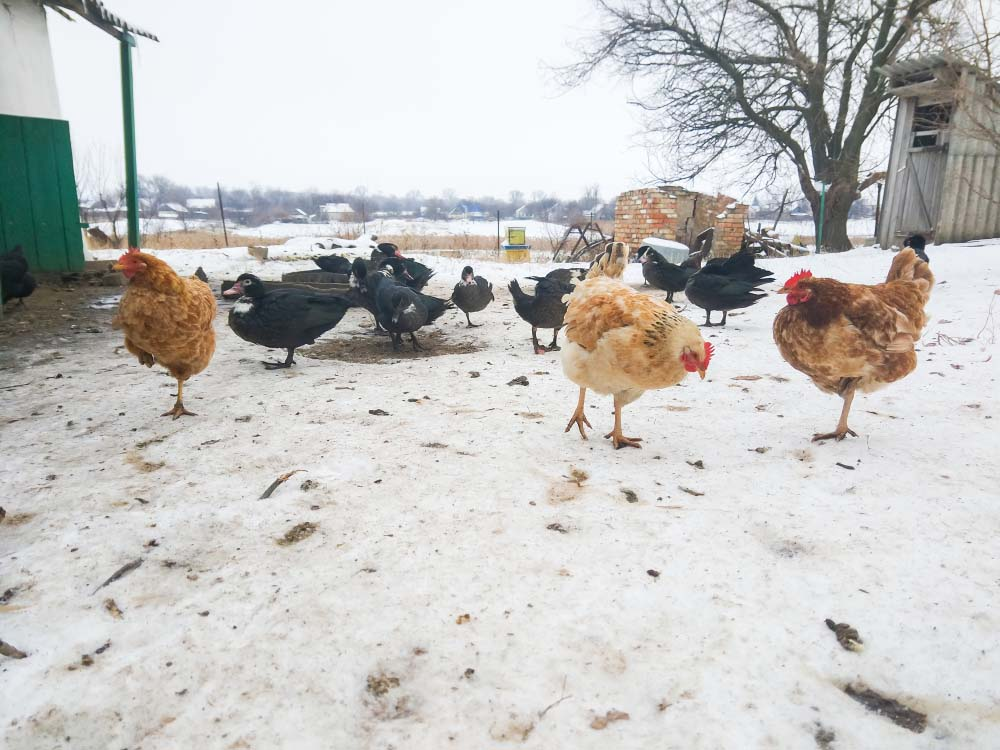 ducks and chickens in snow
