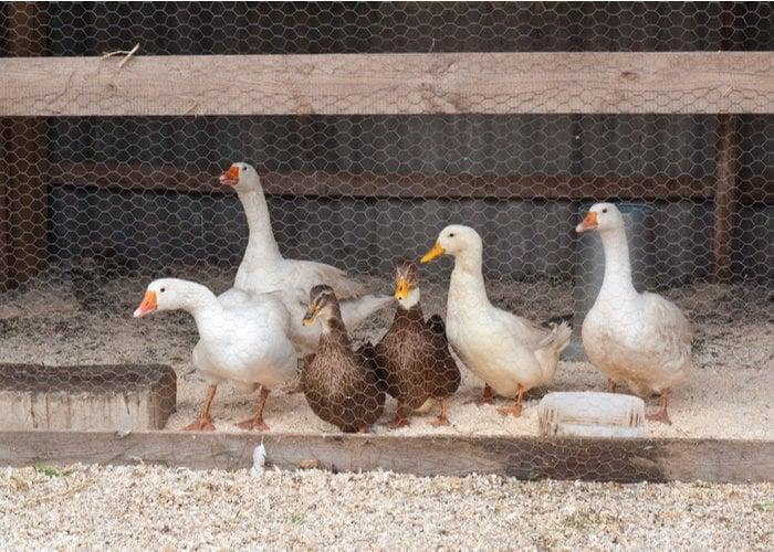 ducks in coop