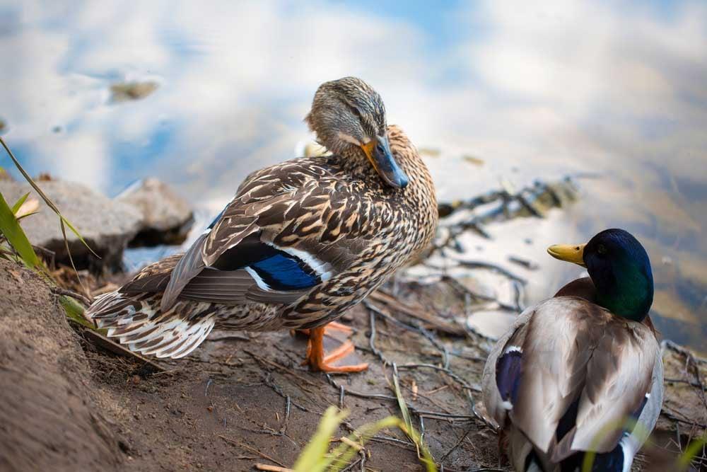 ducks plumage