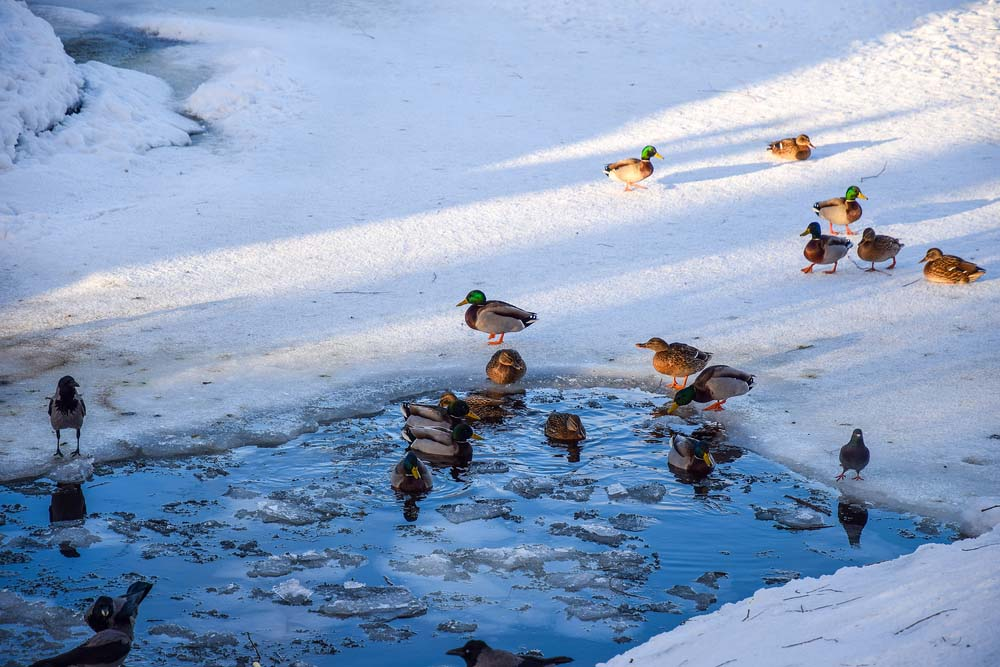 ducks swimming in ice hole