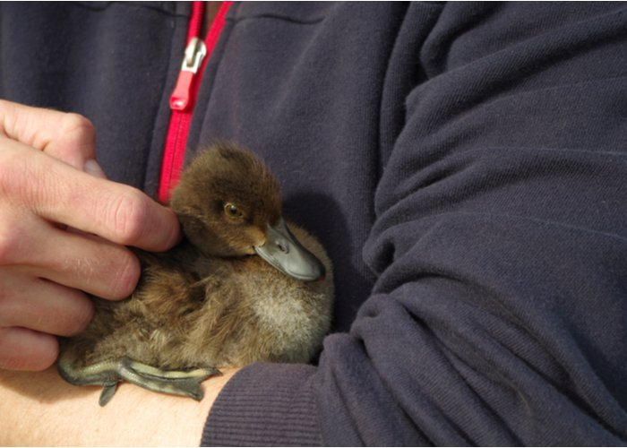 holding a duck