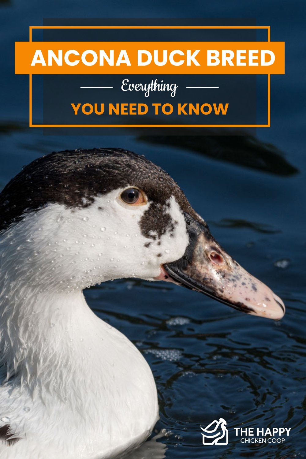 Ancona Duck Breed- Everything You Need To Know