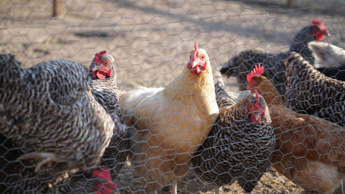 The Educational Value of Raising Chickens