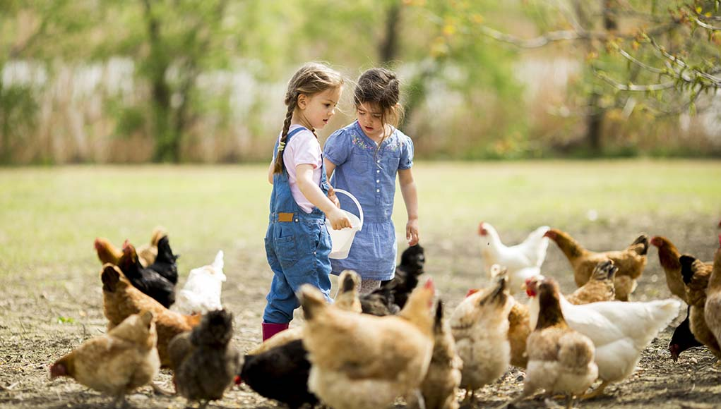 How many people have gotten chickens in the past 5 years
