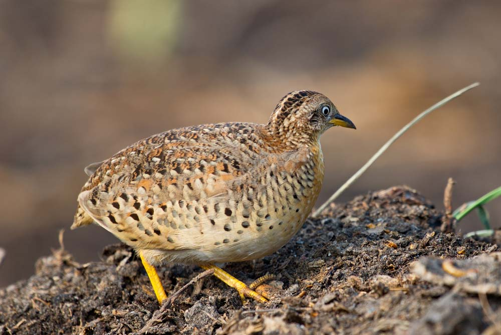 common button quail
