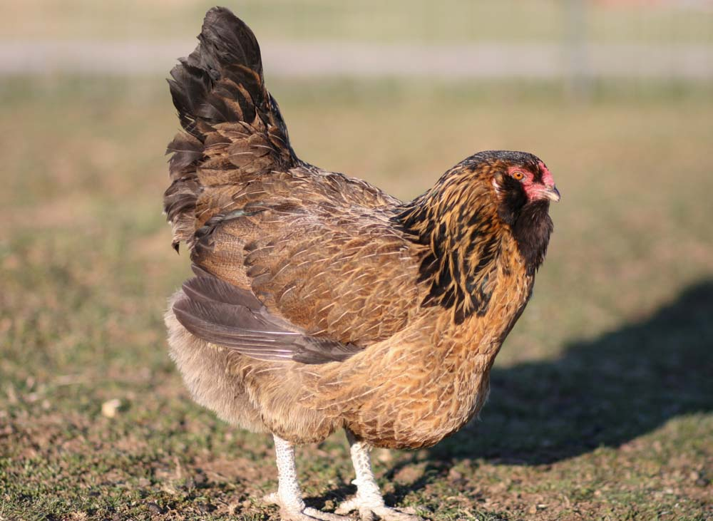 easter egger chicken breed
