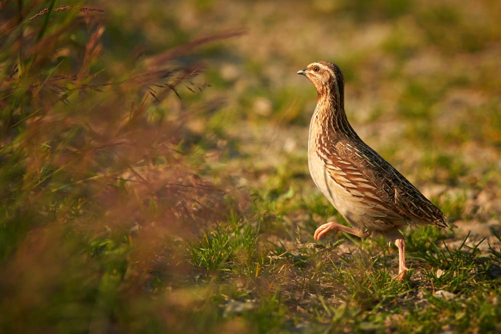 quail walking in brush