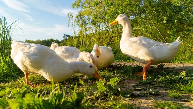 Best Meat Duck Breeds
