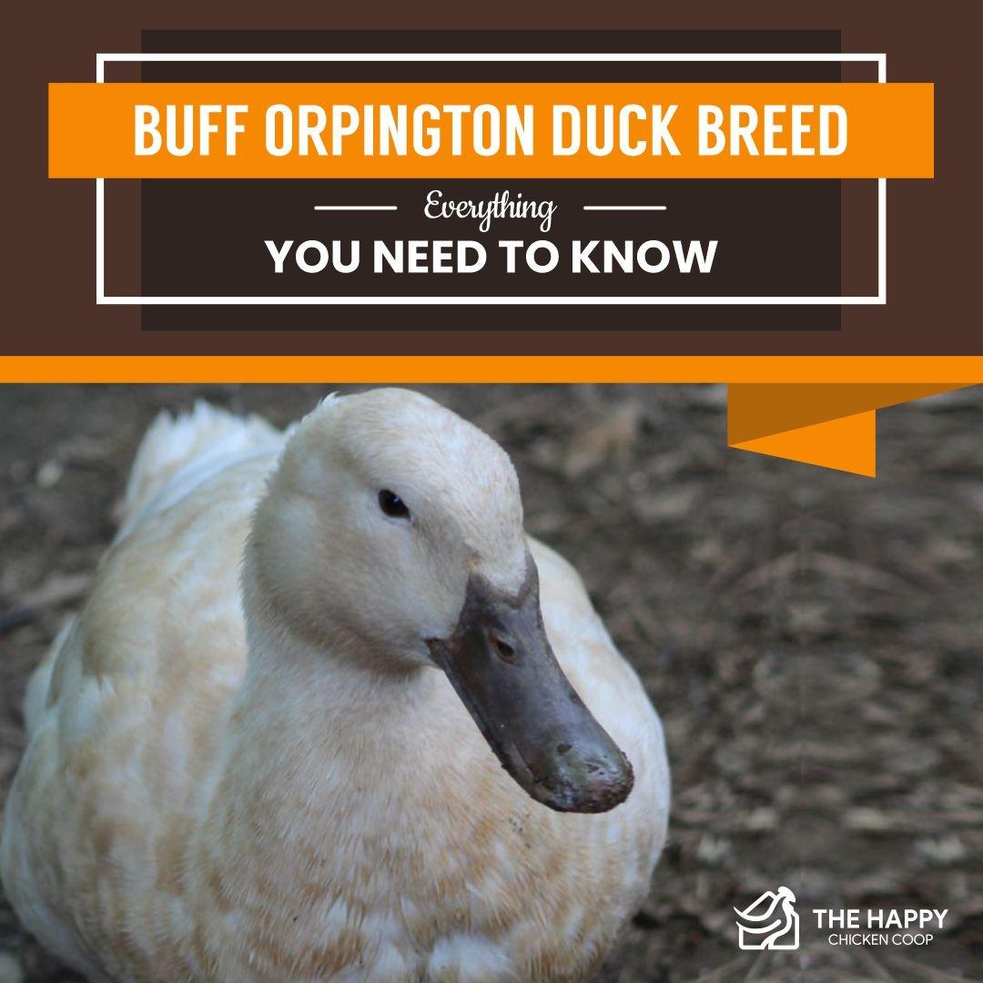 Buff Orpington Duck Breed