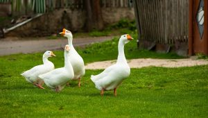 Can You Keep Ducks As Pets? Everything You Need To Know