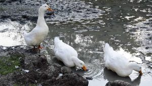 Do Ducks Need Water? What You Should Know