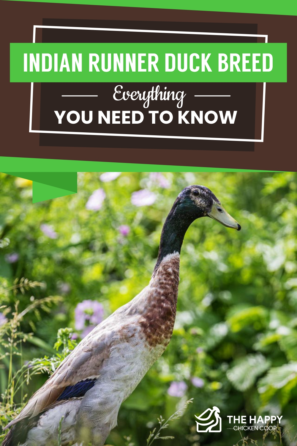 Indian Runner Duck Breed- Everything You Need To Know