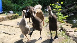 Indian Runner Duck Breed: Everything You Need To Know
