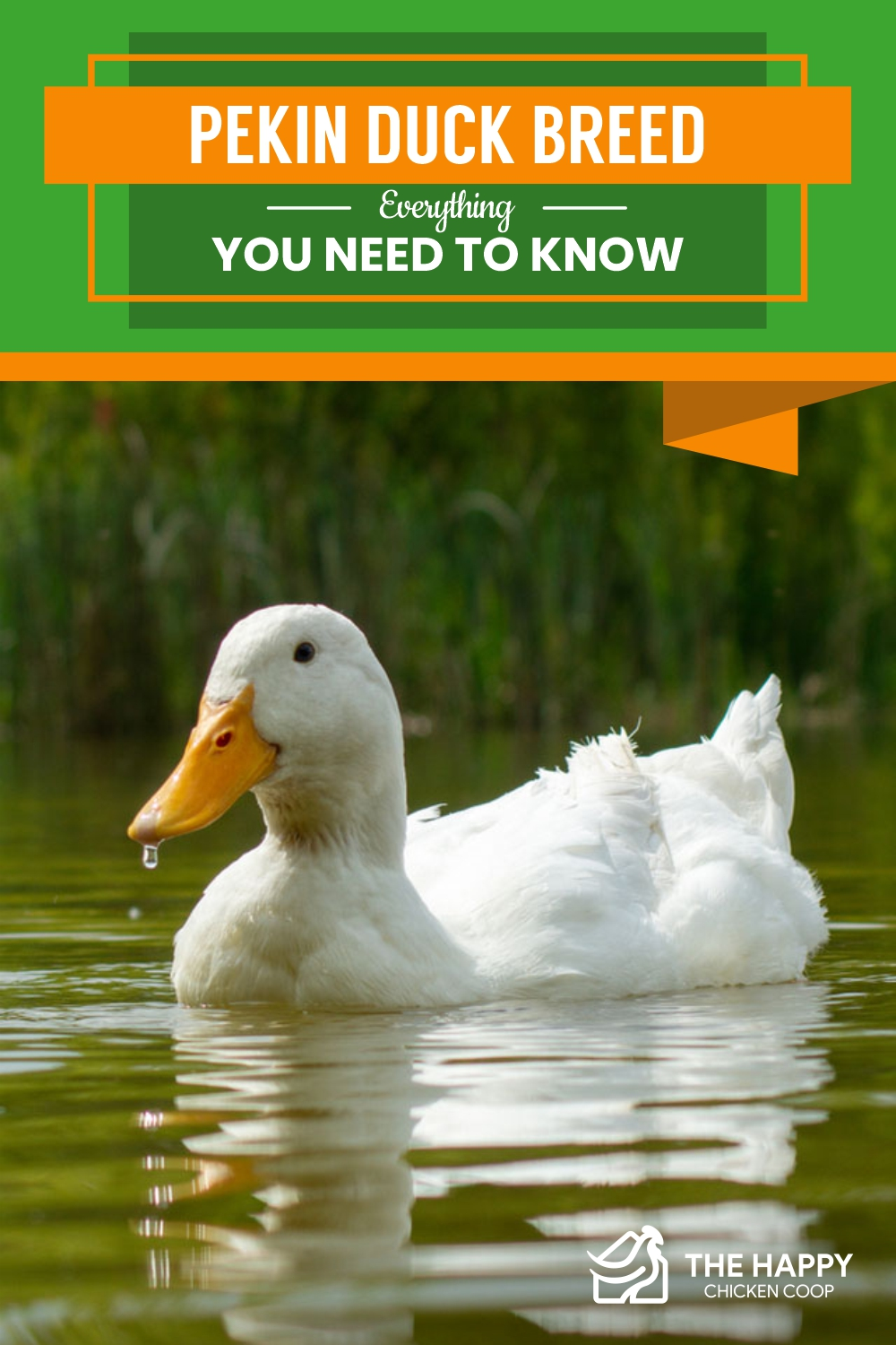 Pekin Duck Breed- Everything You Need To Know
