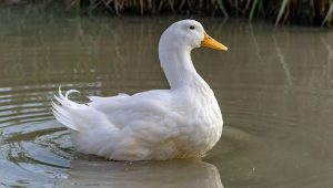 Pekin Duck Breed: Everything You Need To Know
